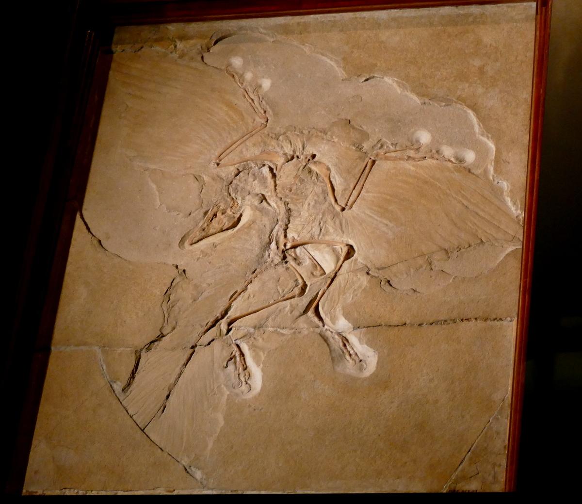 Das wertvollste Fossil der Welt -der Archaeopterix
