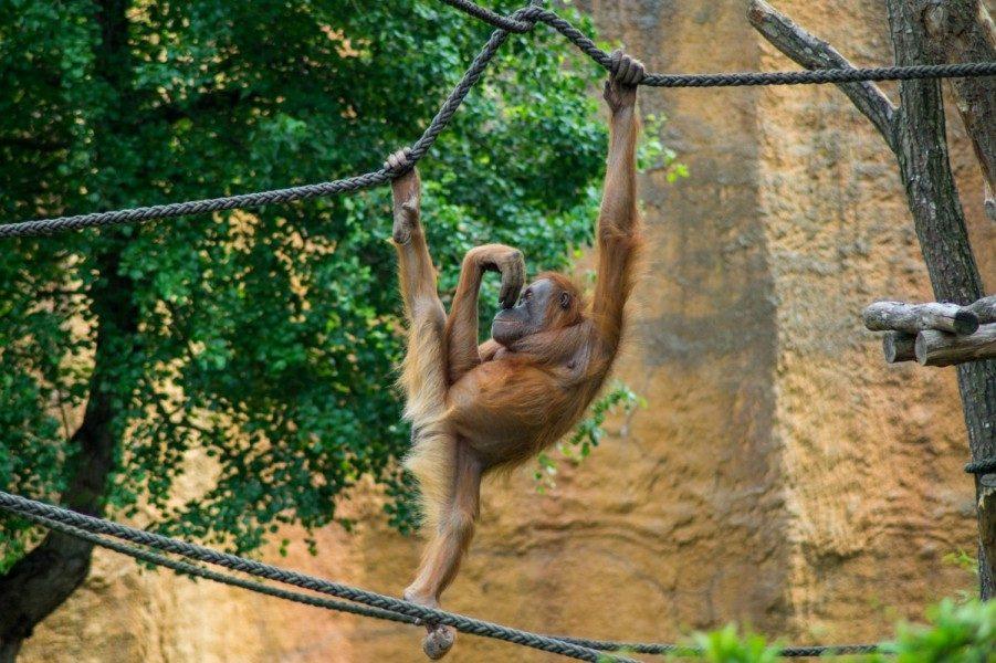 Peter-A.-Silbermann-Schule - Leistungskurs Bio - Zoo Leipzig - Orang Utan